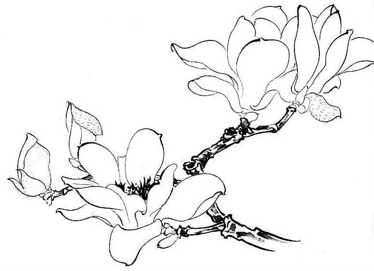 玉兰花铅笔画
