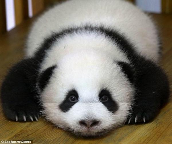 壁纸 大熊猫 动物 600_501